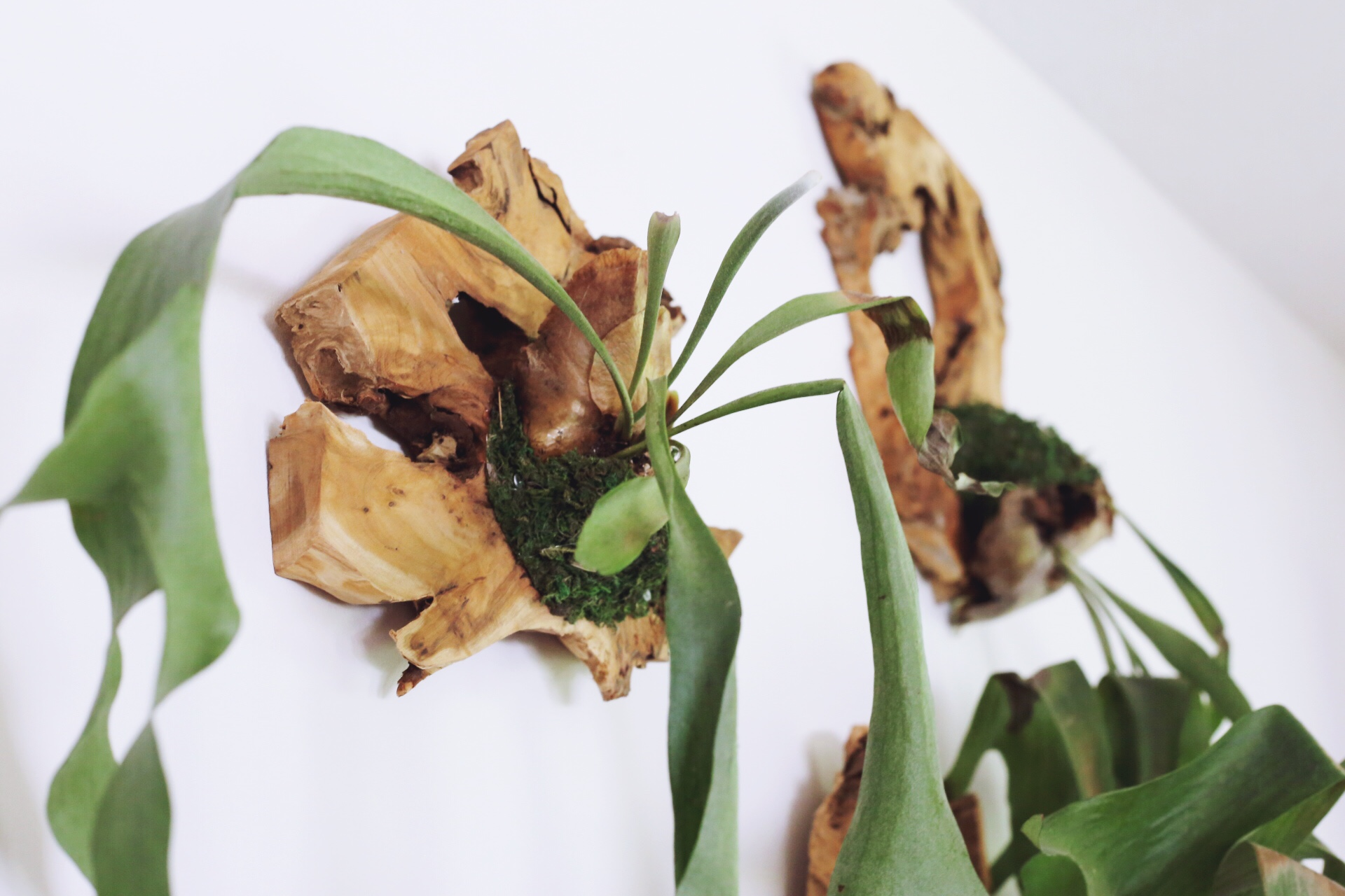 Staghorn Fern Mount DIY